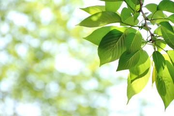 桜の爽やかな青葉と木洩れ日