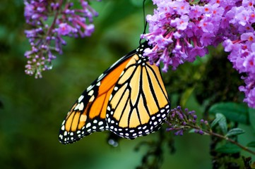 Monarch Butterflies on Purple Butterfly Bush
