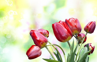 Beautiful tulip flower.Nature poster
