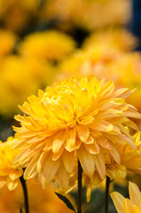 orange chrysanthemums , macro