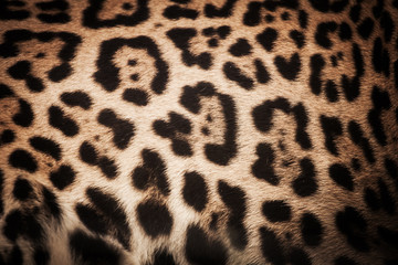 detail skin of leopard for background and texture