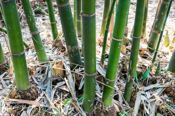 Bamboo shoot trunk leaf dry in garden