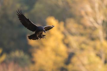 Fototapeta Ptaki - kruk w locie (Common Raven - Corvus corax) obraz