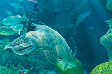 Humphead Maori Wrasse swimming near the Reef underwater.