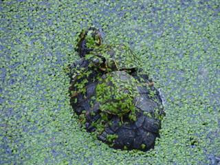 Cerca immagini acquatiche for Stagno tartarughe