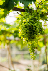 Grape in the vine