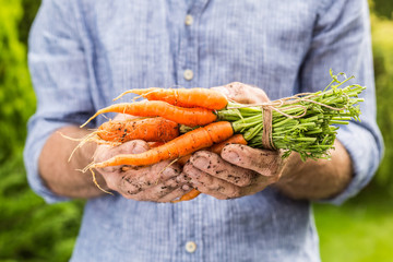 Bunch of young carrots in gardener's hands