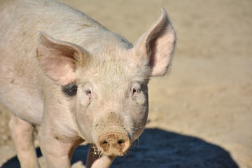 domestic piglet with dirty snout on range land