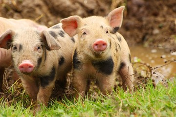 Cute little piglets