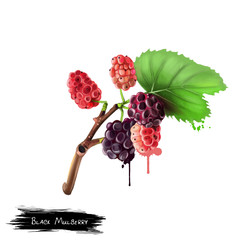 Black mulberry and leaves isolated on white