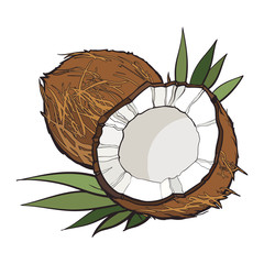 Whole and cracked coconut, vector illustration isolated on white background. Drawing of coconut on white background, delicious healthy vegan snack