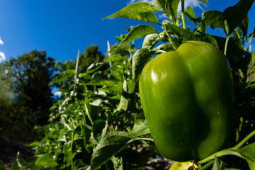Bell pepper growing