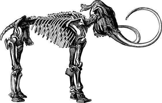 Vintage image mammoth skeleton