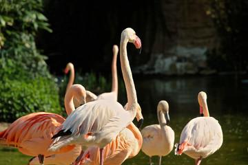 Flamingo schaut aufmerksam