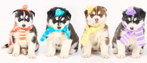 High bred adorable Siberian Husky puppies wearing colorful scarves for winter season