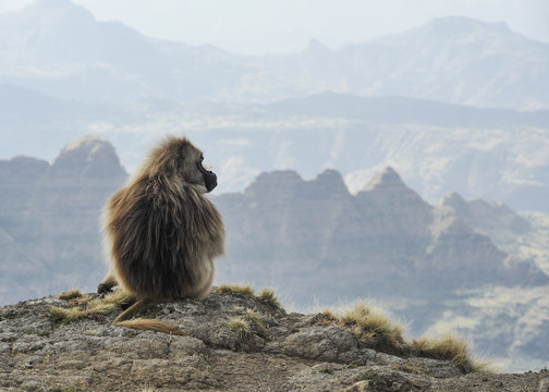 geladas in simien mountains