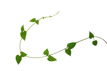 Heart shaped green leaf vines isolated on white background, clip Wall mural