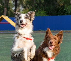 Two purebred dogs (border collies) in the background of the platform for training dogs.