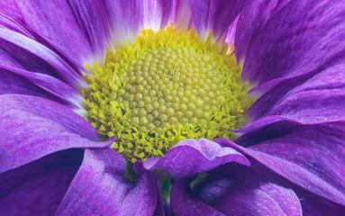 Beautiful Purple Daisy Flower in the Garden