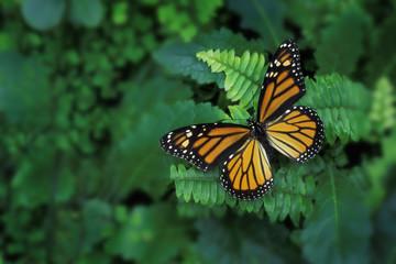 Monarch Butterfly On Fern (Danaus Plexippus)