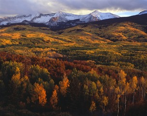 Autumn aspen groves, West Elk Mountains, Gunnison National Forest, Colorado, USA