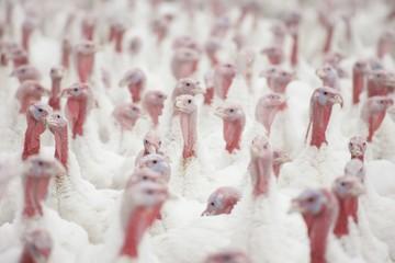 Group Of Turkeys