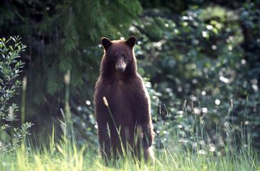 Black Bears, Whistler, Bc, Canada