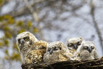 Four Great Horned Owl (Bubo Virginianus) Chicks; Edmonton, Alberta, Canada
