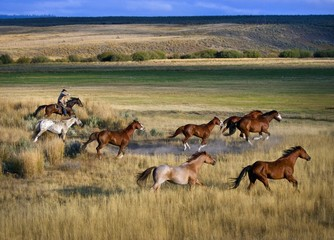 Cowboy riding with herd of horses, Senaca, Oregon, USA
