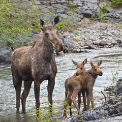Sow Moose And Calves At Waterton National Park; Alberta, Canada