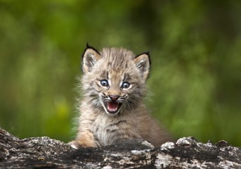Baby lynx, Canmore, Alberta, Canada Wall mural