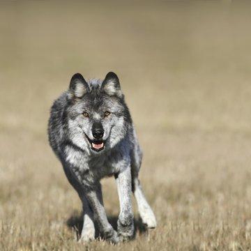 Wolf (Canis Lupus) Running Towards Camera; Golden, British Columbia, Canada