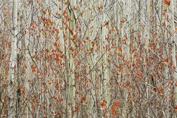 Spring Buds Against Birch Trees; Hymers, Ontario, Canada