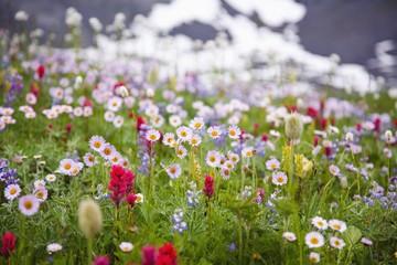 Wildflowers in Mt. Rainier National Park, Washington, USA