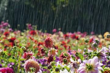 Oregon, United States Of America; A Dahlia Field In Willamette Valley