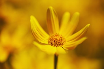 A Yellow Flower (Asteraceae)
