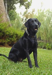 Black Labrador Retriever; Tarifa, Cadiz, Andalusia, Spain
