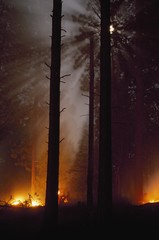 Moonbeams Formed In Smoke From Prescribed Fire In Ponderosa Pine Forest