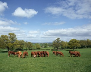 Cattle Grazing; Ireland