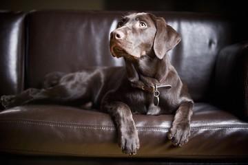 Chocolate Labrador Retriever; Portrait Of A Labrador Sitting On A Couch