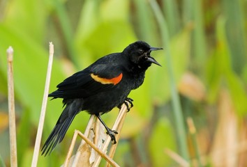 Red-Winged Blackbird, Wacodahatchee Wetlands, Florida, Usa