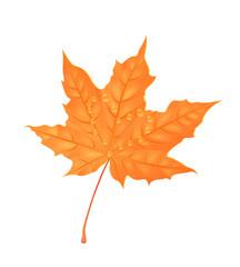 Autumn maple foliage. Creative vector illustration. Orange leaf with water drops. Design element.