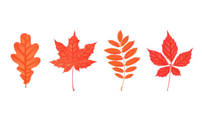 Set of autumn leaves isolated on white. Oak, rowan, maple, parthenocissus. Flat cartoon style