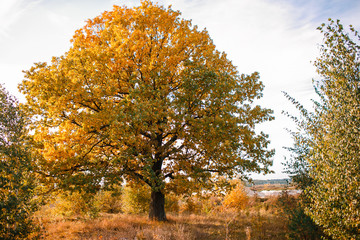 Autumn landscape with orange oak tree in the field. nature - in sunny . Picturesque view of . in sunlight