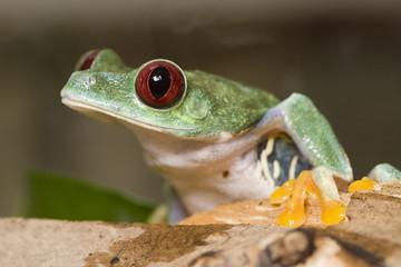frog in a plant - red-eyed tree frog Agalychnis callidryas