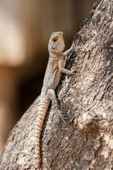 Madagascan Iguana