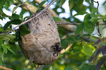 Bald-faced Hornets emerge from their nest at dawn