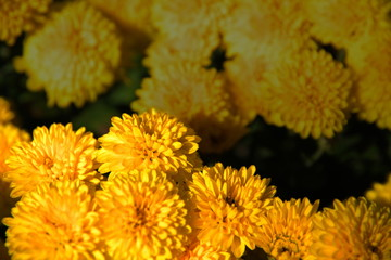 Yellow chrysanthemums, natural background for your project.