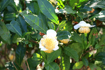 tea plant flower