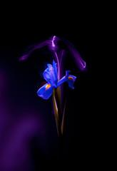 one blue iris flower closeup on a dark background